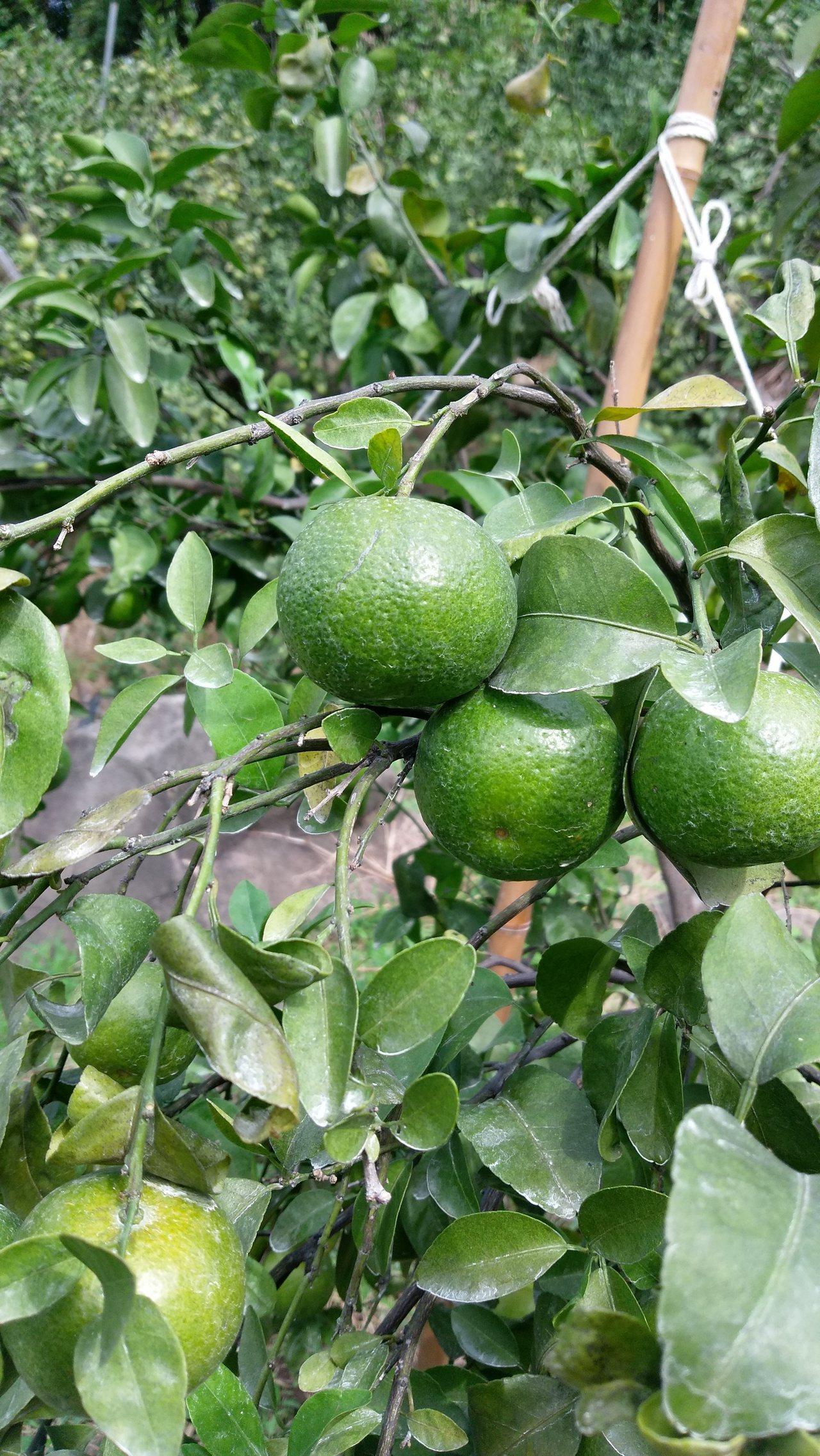 八里區柑橘品種之一沙糖桔。圖/新北市農業局提供