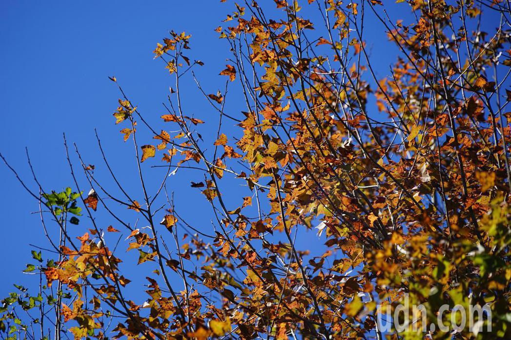 竹62線道梅花村通往梅花國小沿途也有不少棵「楓香」,在陽光照射下更顯金黃耀眼。記...