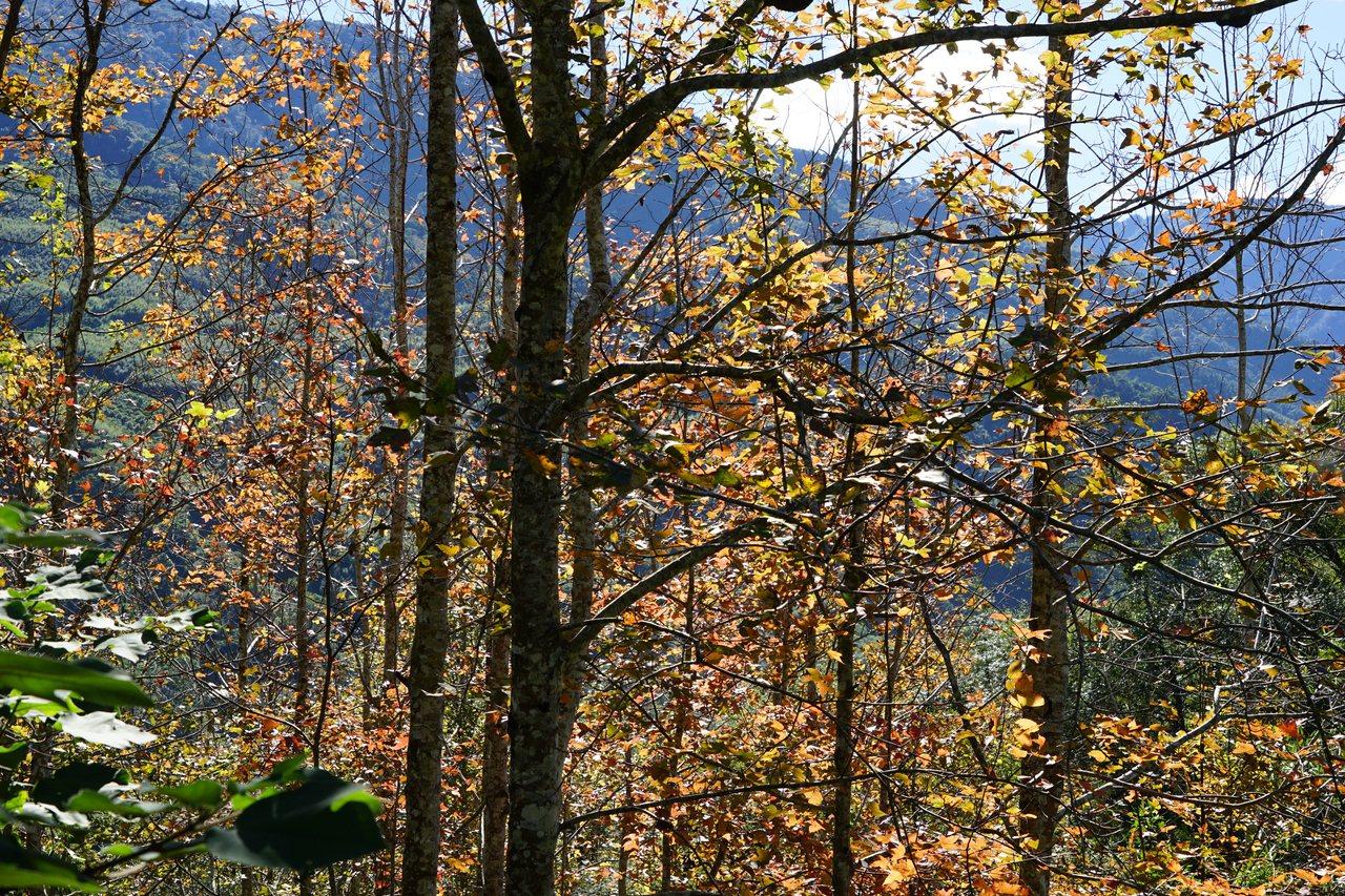「楓香」雖不是楓樹,但樹葉會隨溫度改變而變色,常被遊客誤以為是楓樹。記者陳妍霖/...
