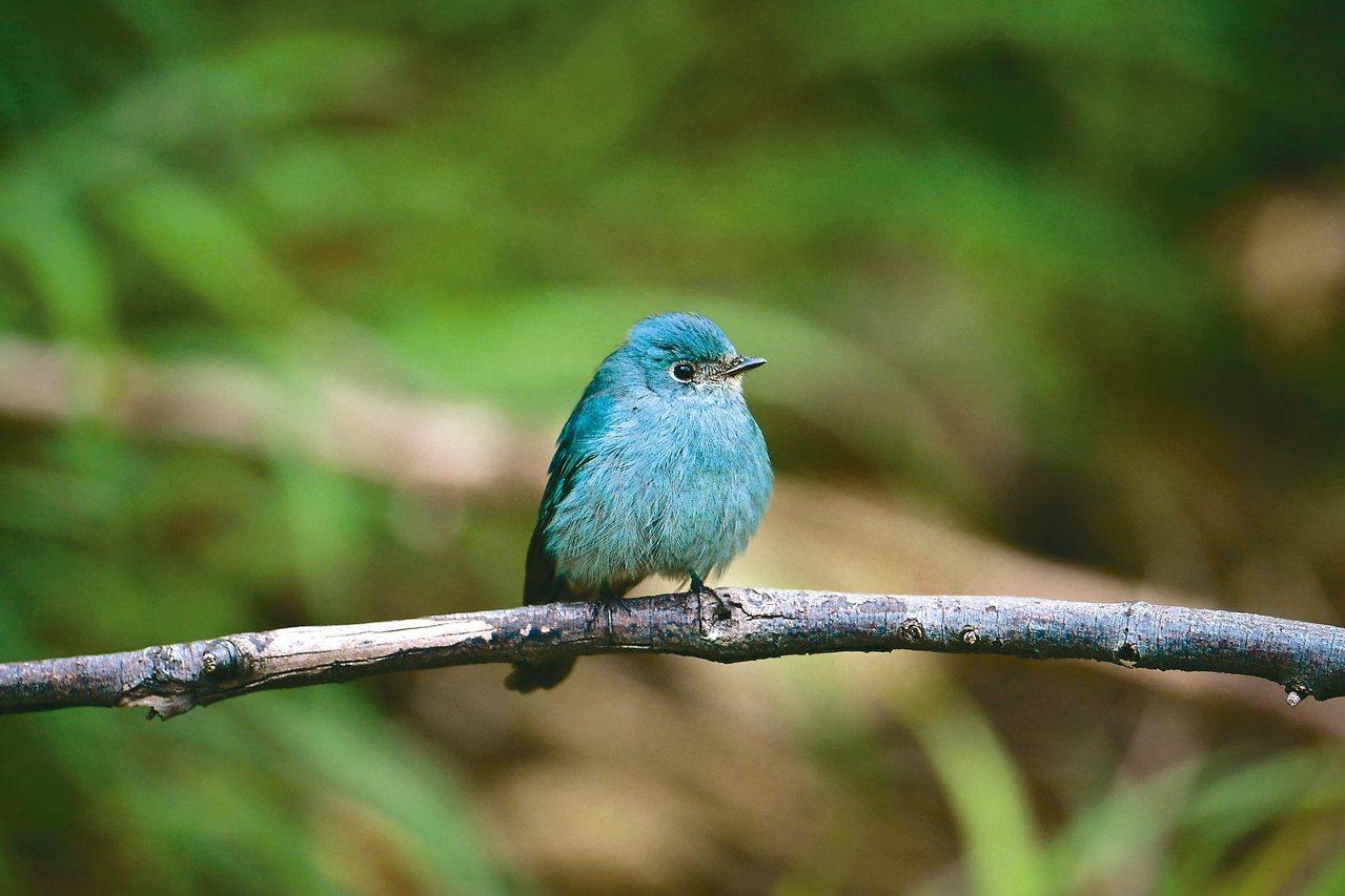 那日桃園大園許厝港來了一隻超級稀有鳥,銅藍鶲母鳥。 攝影/周耀宗