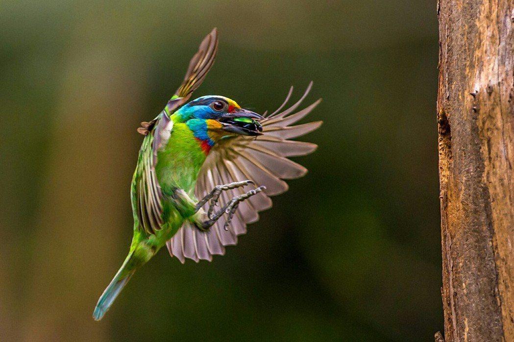 司法院資訊處處長王金龍熱愛鳥類攝影,是司法界的「拍鳥達人」。圖為五色鳥育雛畫面。...