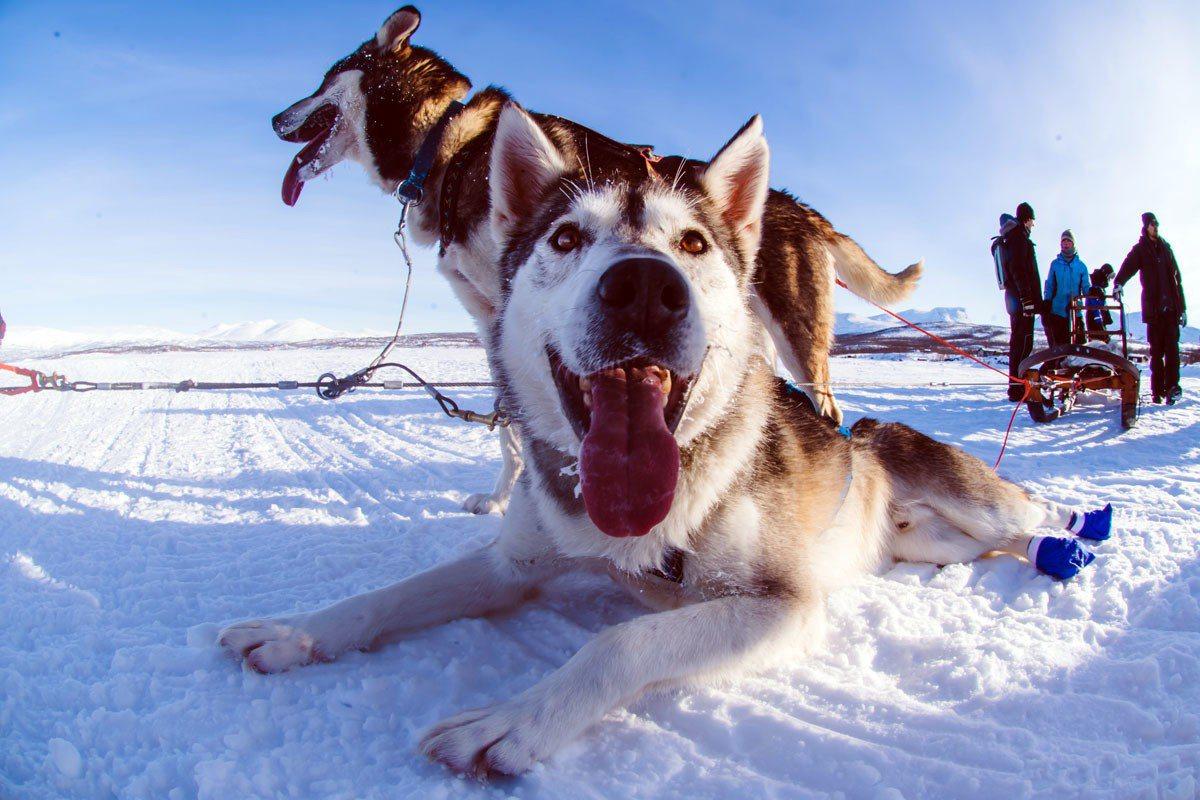 哈士奇跑完了全身發熱,正坐在冰雪中,伸著舌頭哈氣。