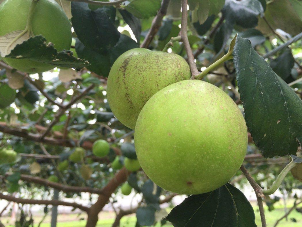 蜜棗若遇到冬雨寒害,會造成果皮變褐色,影響賣相。圖/農委會高雄農改場提供