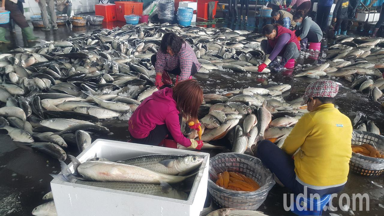 冬至前後是烏魚上市季節,興達港內許多漁村婦人忙著從烏魚中取出烏魚子曝曬。記者徐白...