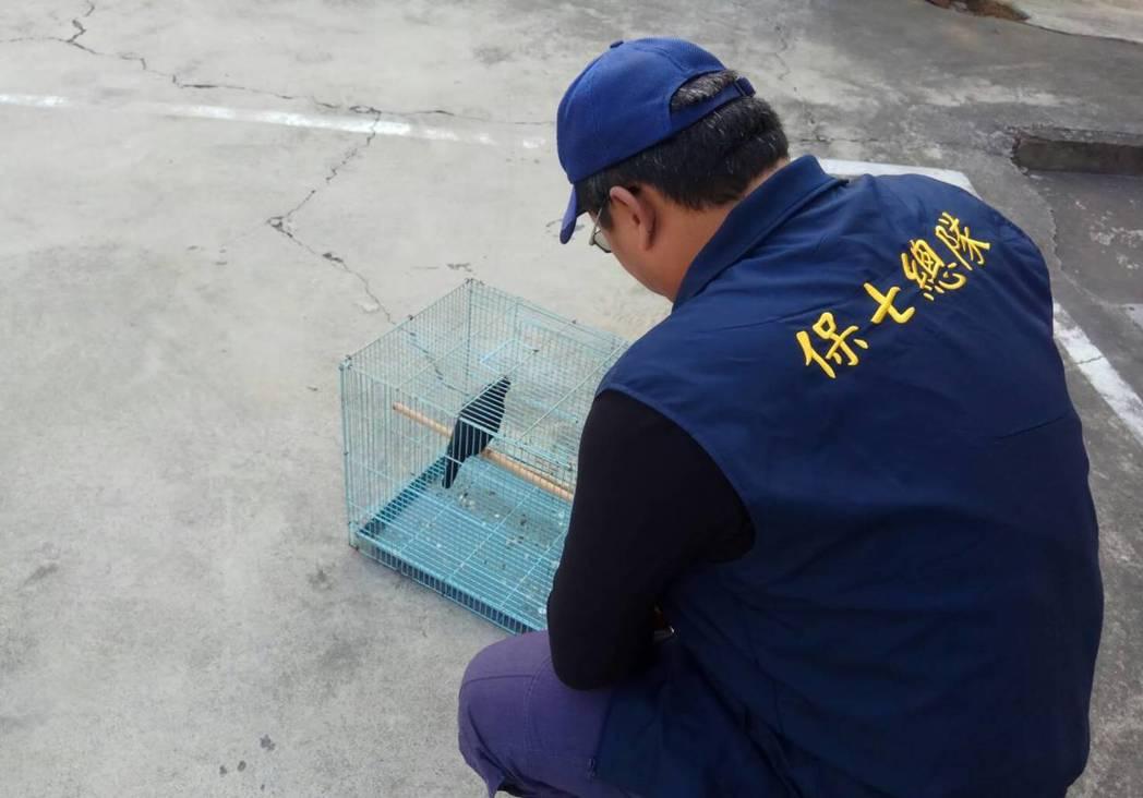 保七總隊七大隊昨天發現,民眾非法飼養一隻二級保育動物本土八哥。圖/保七總隊七大隊...