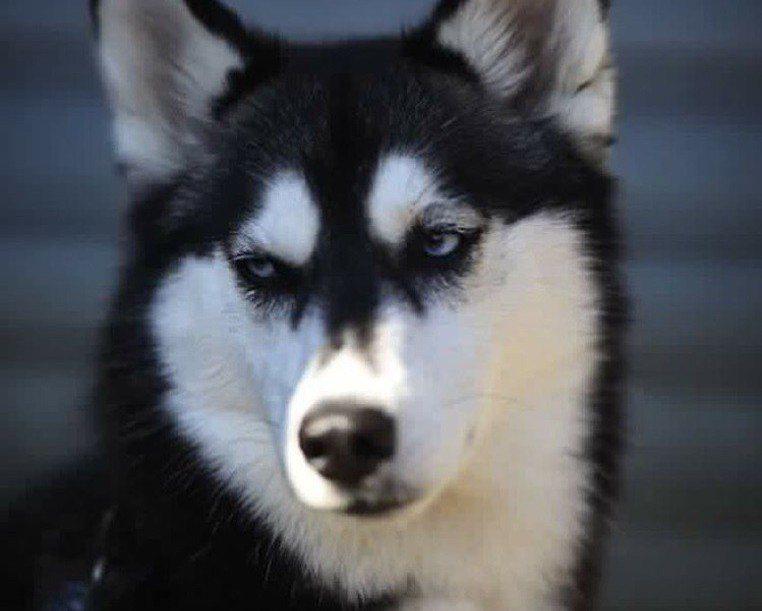 英國哈士奇「Anuko」因為眼神充滿殺氣,被網友封為「世界上最帥的狗」。圖/翻攝...