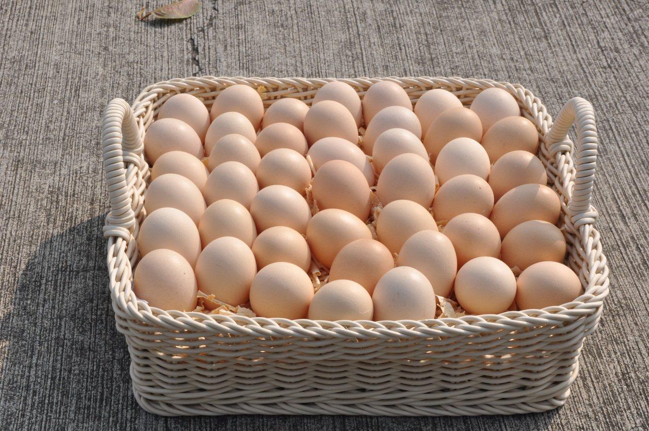 畜試白絲羽烏骨雞蛋。圖/畜試所提供
