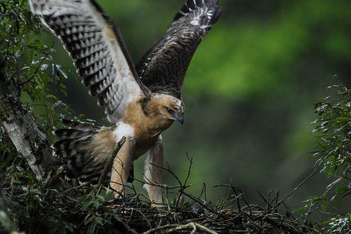 熊鷹飛羽擁有獨特三角斑紋,傳說中為百步蛇轉世,是神聖的象徵。(圖片來源:環資中心...