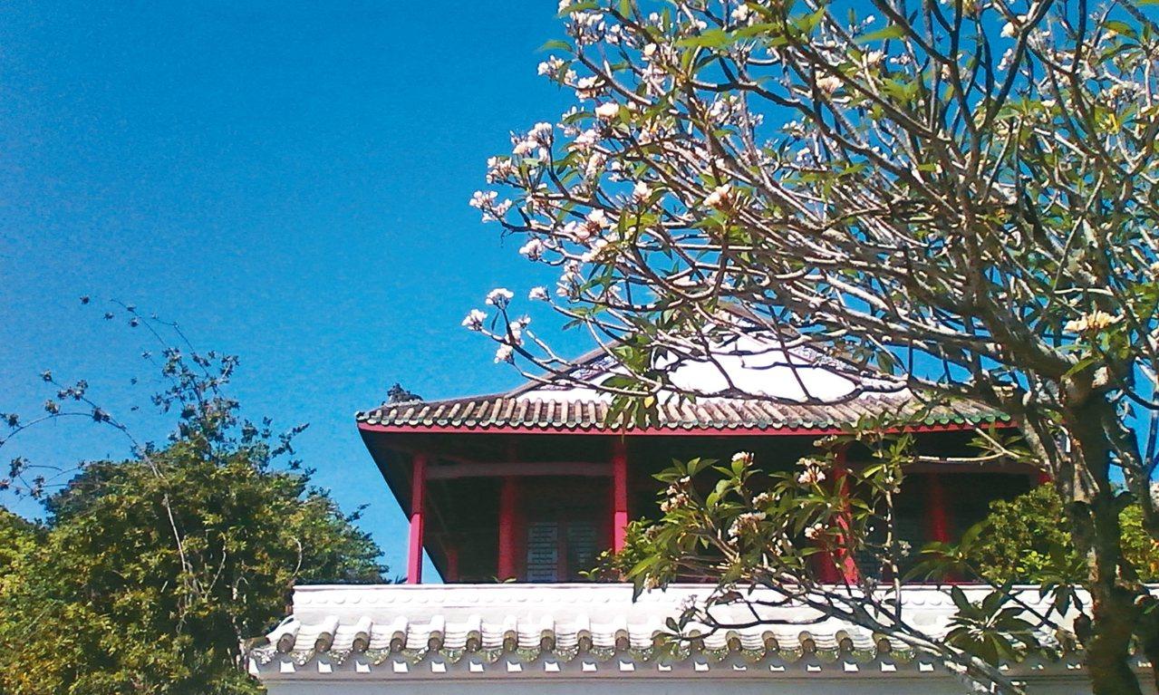 蘇公祠盛開的雞蛋花。 楊明˙攝影