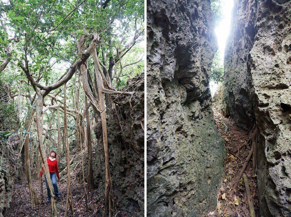 夏綠地民宿帶路探險,穿過狹窄的珊瑚礁岩縫,看會走路的榕樹。(攝影/林郁姍)