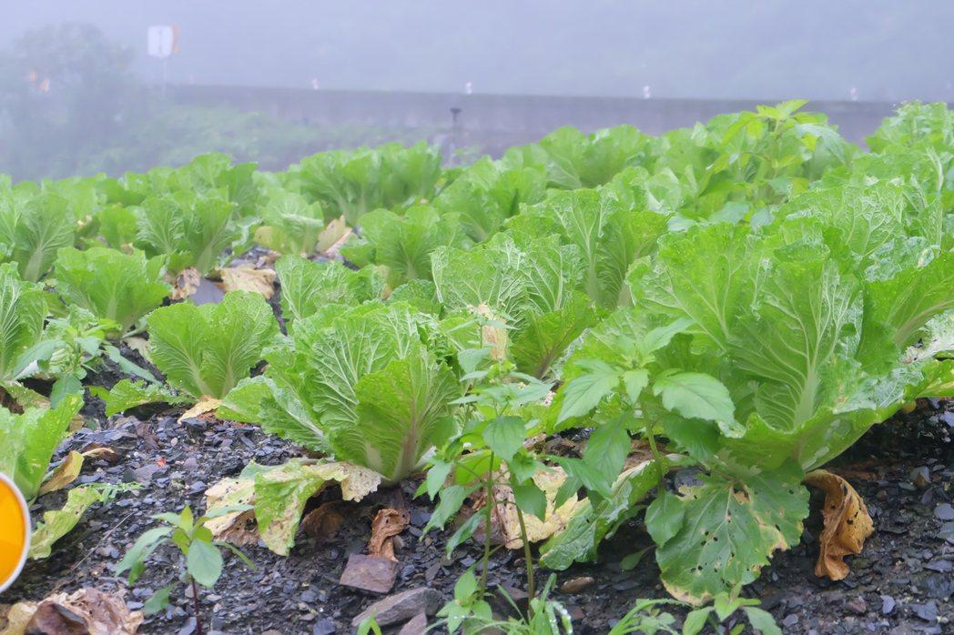 宜蘭縣重要高冷蔬菜產區四季、南山村年產近9萬噸葉菜類,但供給量常和市場需求不同調...
