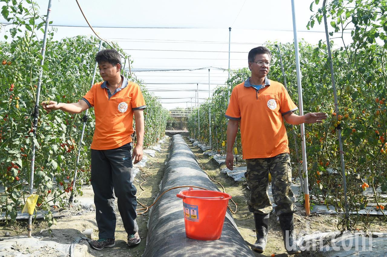 退役軍官蕭成龍(左)經營「成龍果園」種植小番茄甜度超高。記者劉學聖/攝影