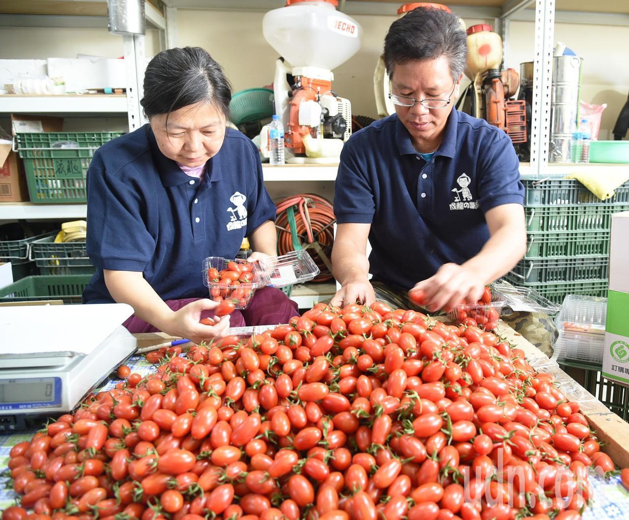 退役軍官蕭成龍(右)經營「成龍果園」種植小番茄甜度超高。記者劉學聖/攝影