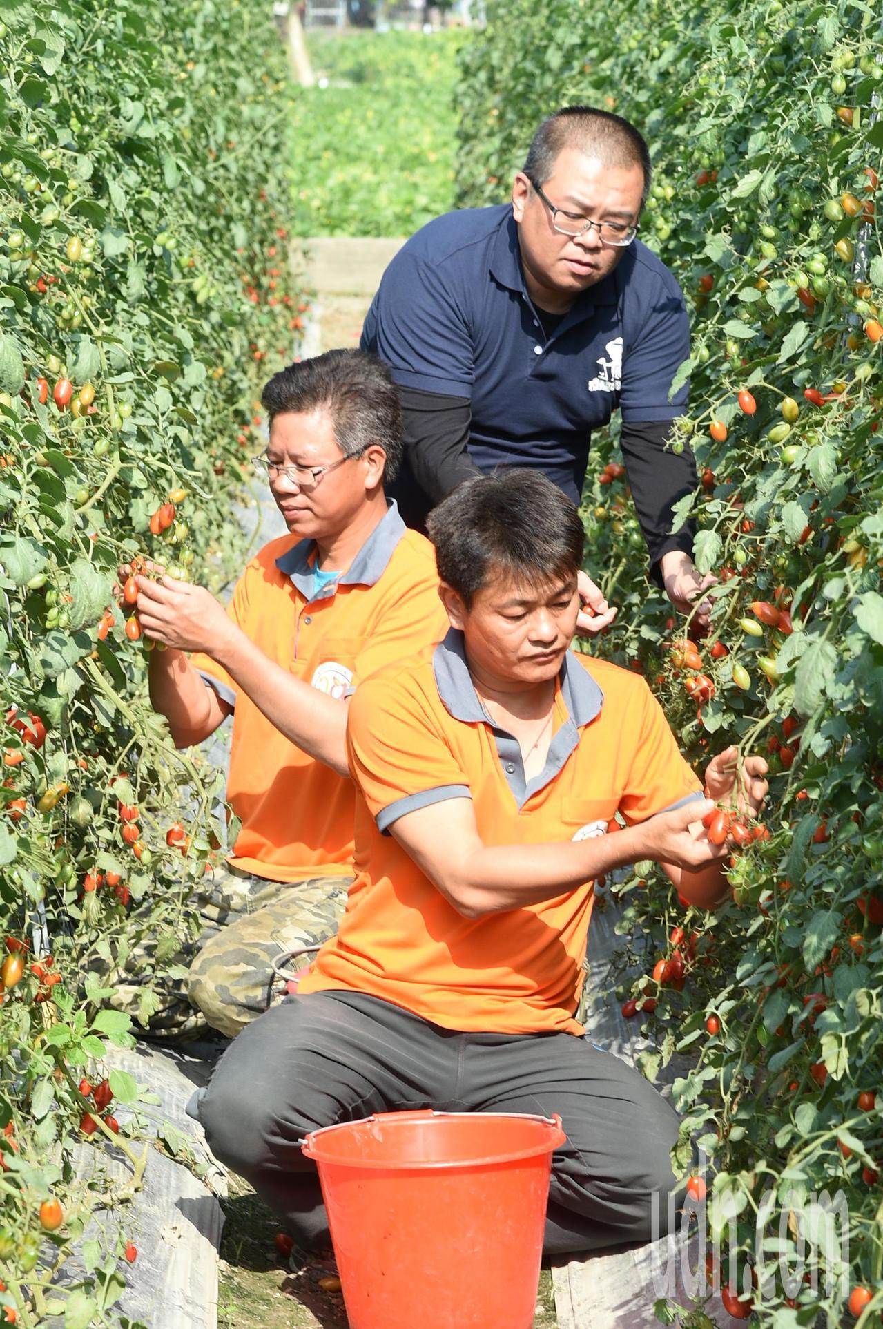 退役軍官蕭成龍(左)經營「成龍果園」種植小番茄甜度超高,各蔬果均有履歷證明,吸引...