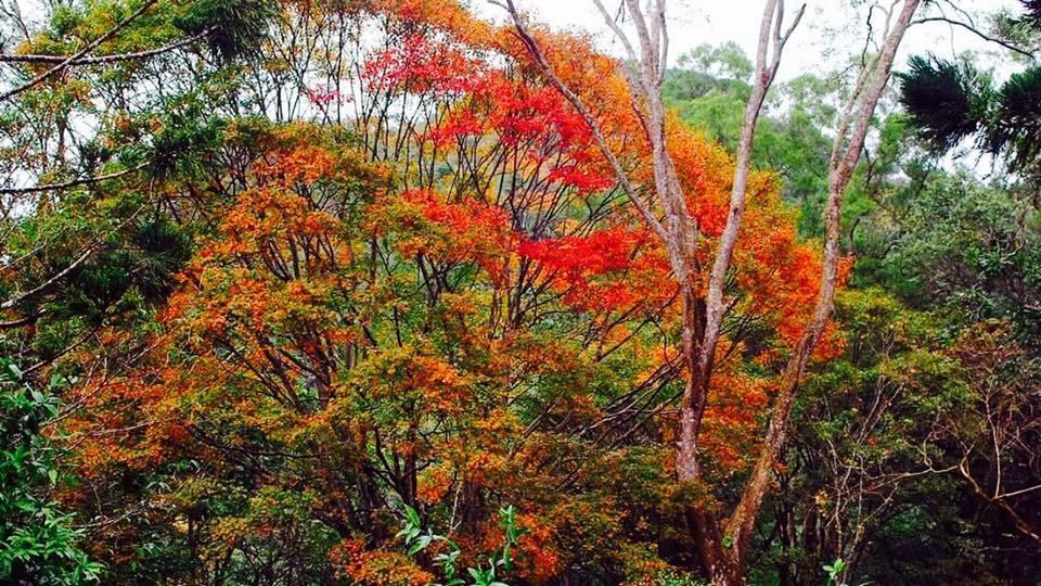 桃源仙谷的楓葉也紅了。圖/翻攝自桃源仙谷粉絲團