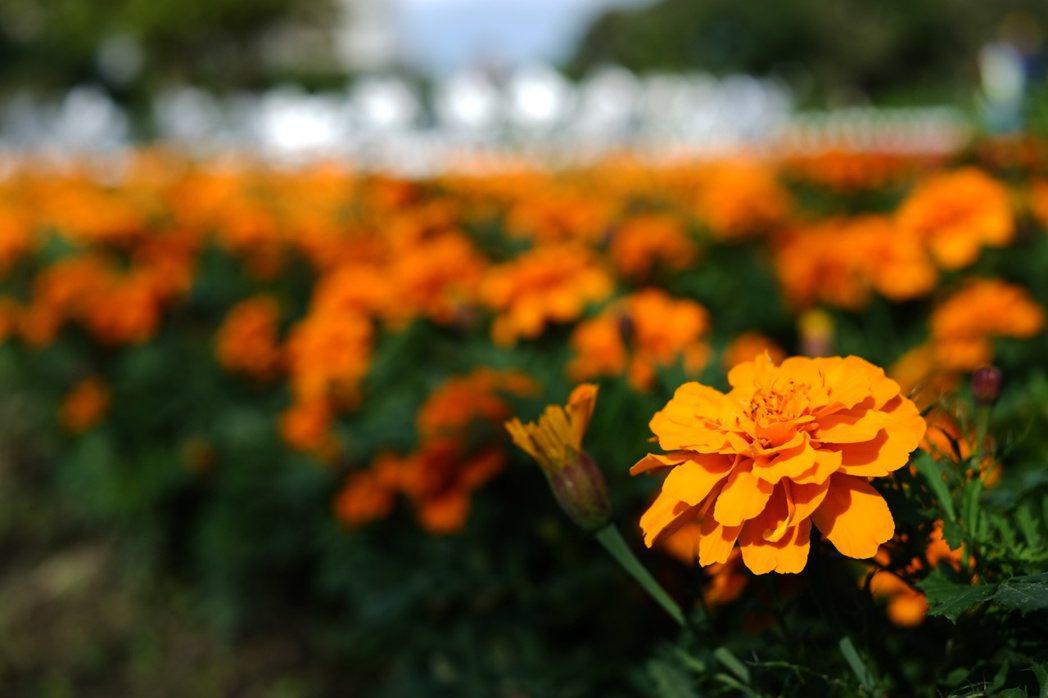 觀山河濱花海以紅色、粉色、橙色等花種相互搭配。圖/臺北市政府工務局水利工程處提供