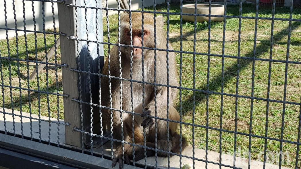 苗栗縣生態保育教育中心目前收容4隻石虎及台灣獼猴等保育類動物。記者黃瑞典/攝影