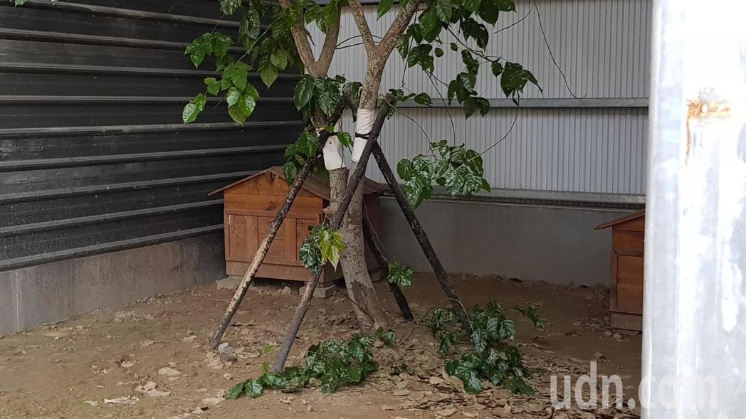 苗栗縣生態保育教育中心目前收容4隻石虎,包括1公3母,提供良好棲息環境。記者黃瑞...