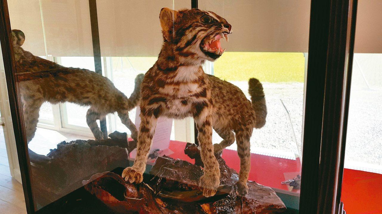 苗栗縣生態保育教育中心展示石虎等標本,加強推廣環境教育。 記者黃瑞典/攝影