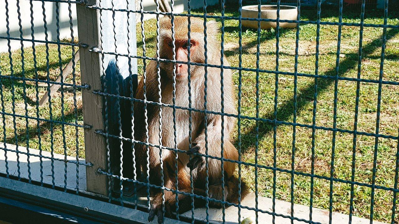 生態保育教育中心收容4隻石虎及台灣獼猴等保育類動物。 記者黃瑞典/攝影