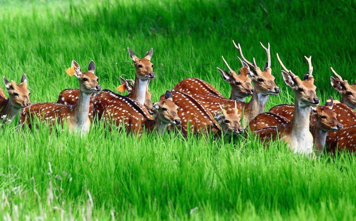 東華大學研究團隊以科學方法首度對墾丁梅花鹿野外進行全面性調查,估計數量約1300...