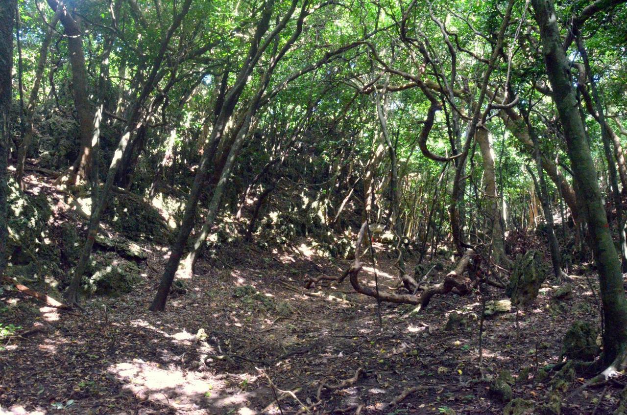 墾丁社頂高位珊瑚礁自然保留區的鹿群,不斷啃食幼苗、嫩芽並來回踩踏草地,公鹿用鹿角...