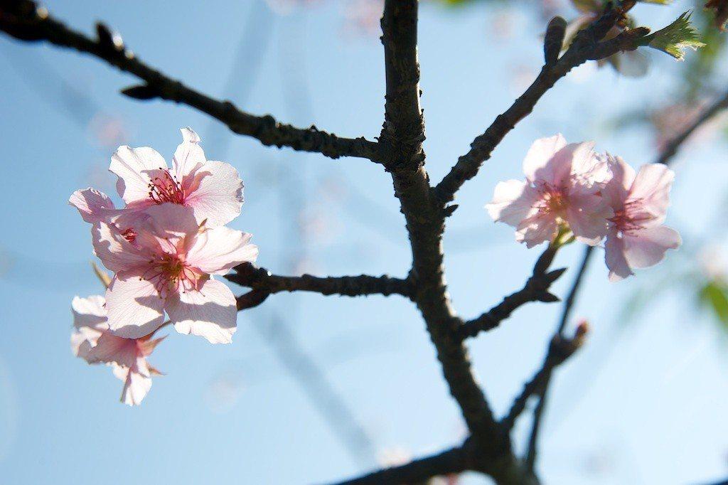 賞梅季節到了,信義鄉農會總幹事黃信輝說,梅園出現近10年最佳的花況,預估會長達1...