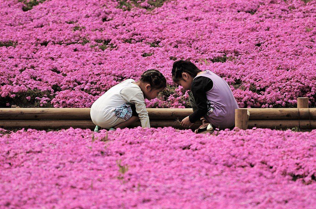 ▲東京芝櫻季。(圖/攝影者:ajari, Flickr CC License)
