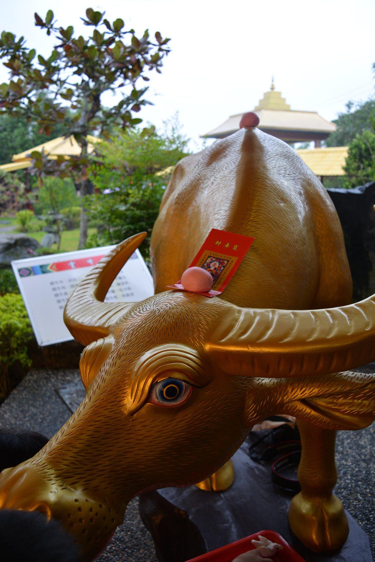 在牛角上貼上湯圓,象徵請牛吃湯圓,慰勞耕牛的辛勞。圖/報系資料照