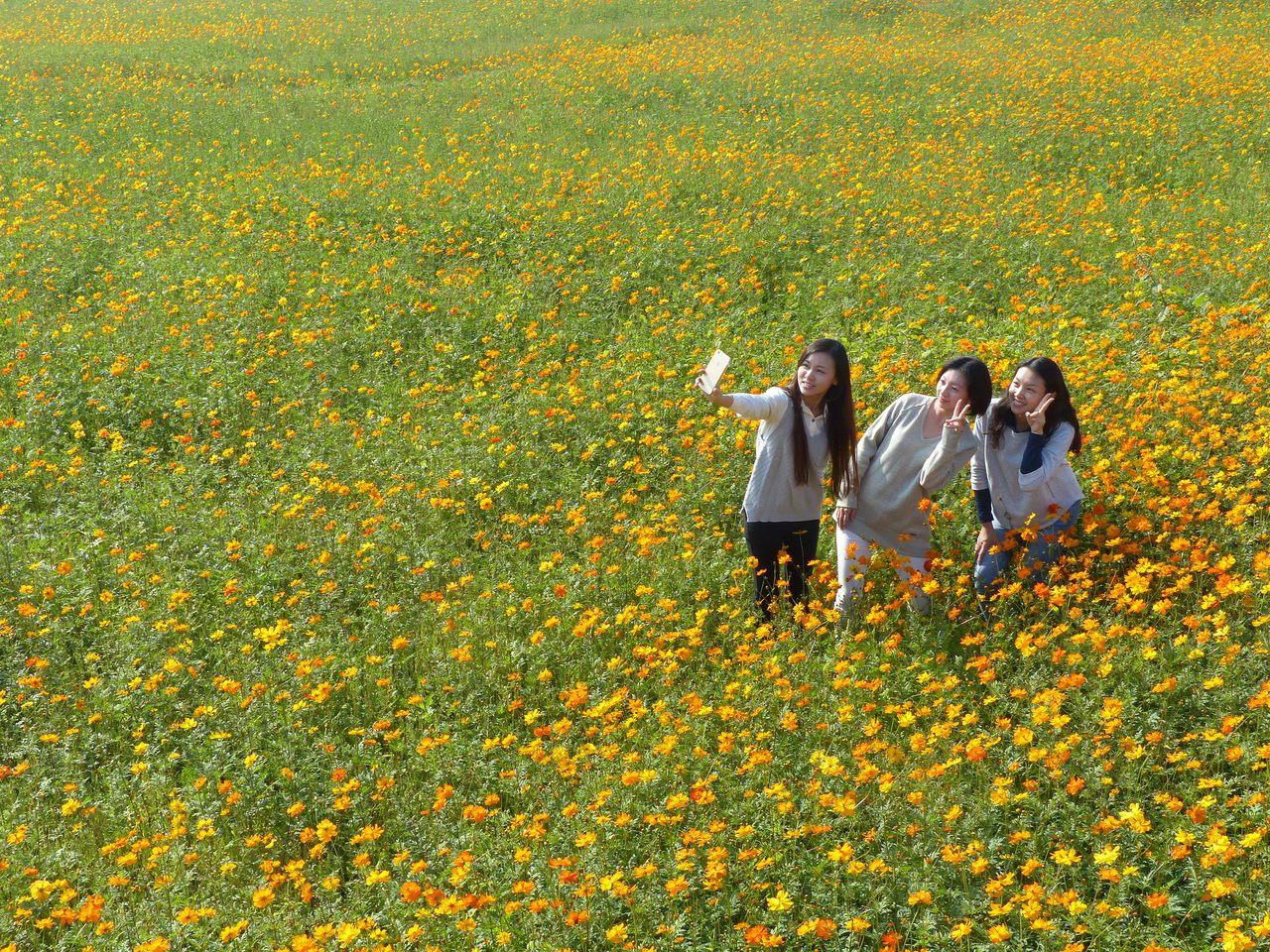 彰化縣花壇鄉三春老樹附近2.5公頃的花田,花開繁盛,美不勝收,吸引許多民眾前往賞...