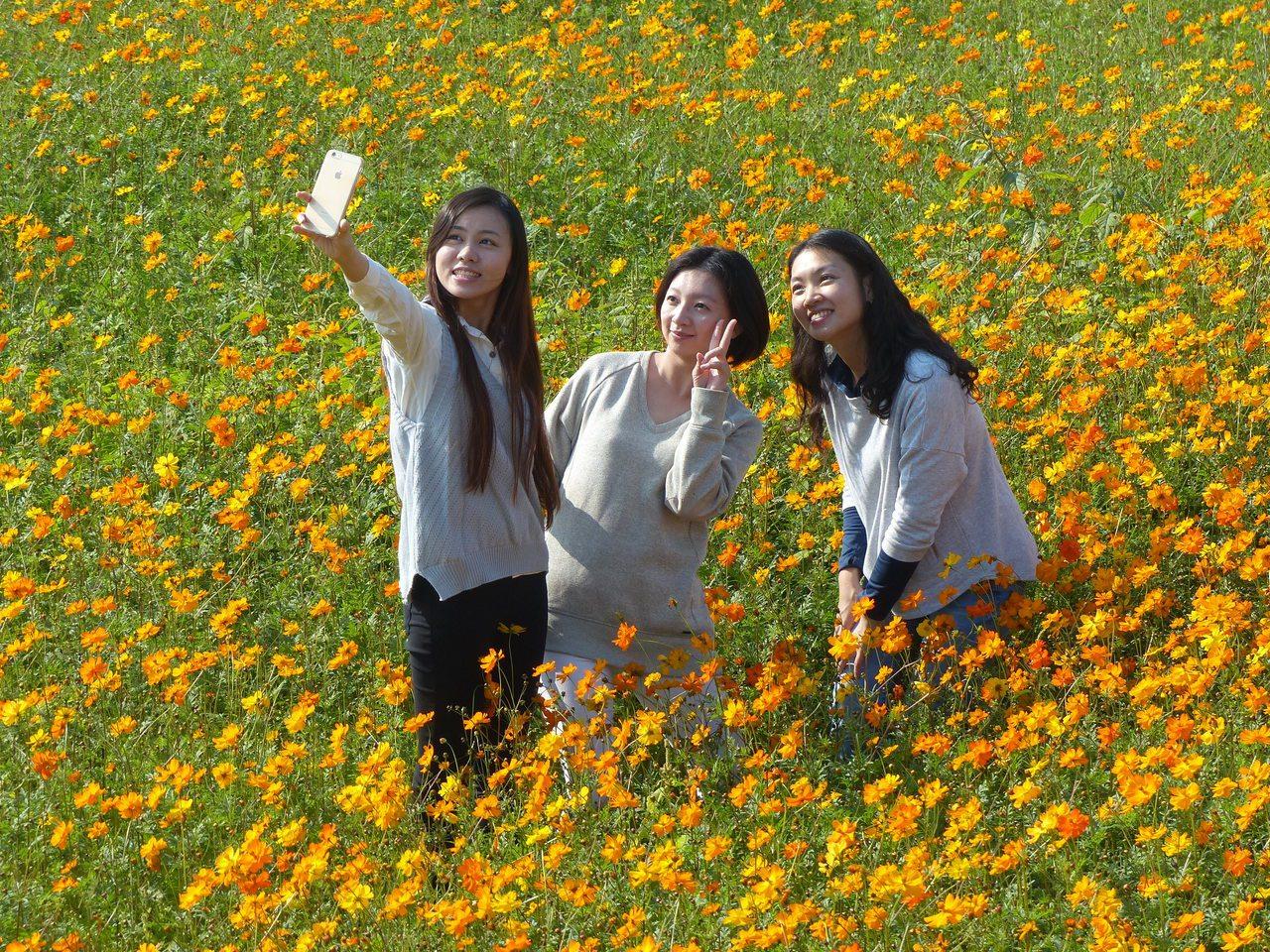 彰化縣花壇鄉三春老樹附近2.5公頃的波斯菊花田,花開繁盛,美不勝收,吸引許多民眾...