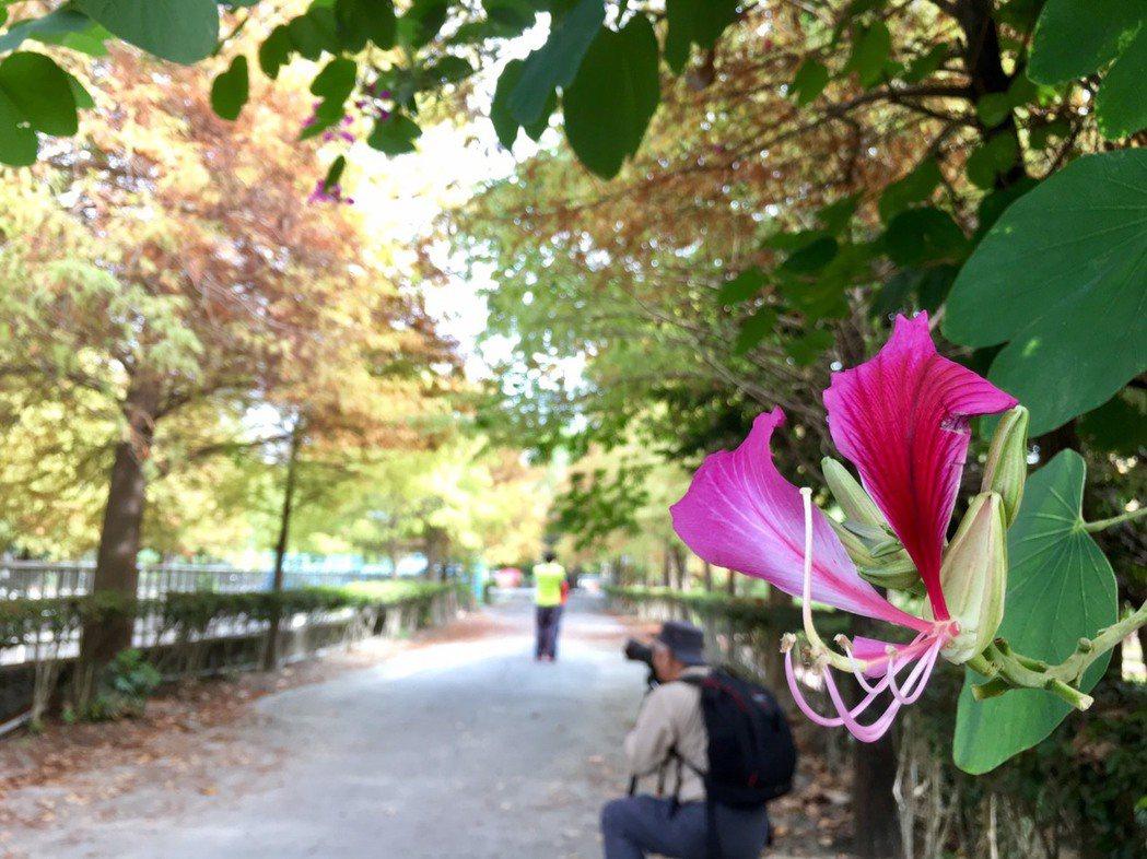 漫步在落羽松的花道林間,感受無比的浪漫風情,值得一遊。記者蔡維斌/攝影