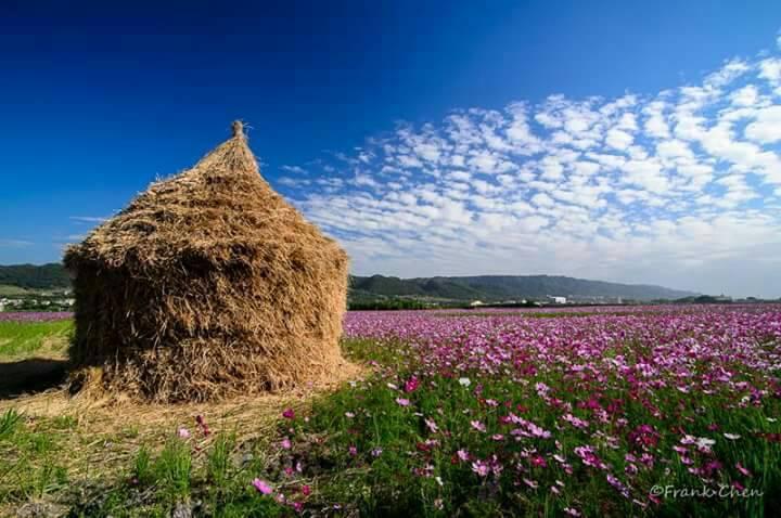 田中鎮稻草人藝術節明天登場,不過一大片美麗的波斯菊花海,和稻草人裝置藝術吸引民眾...