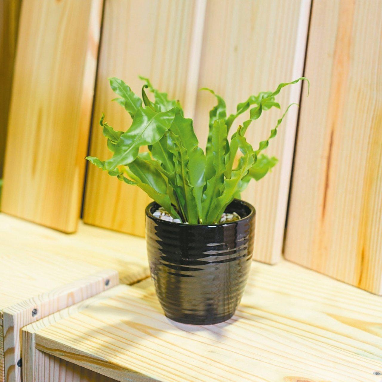 山蘇等是對揮發性有機化合物有淨化功效的植物,是零排碳的天然空氣清淨機,每盆售價9...