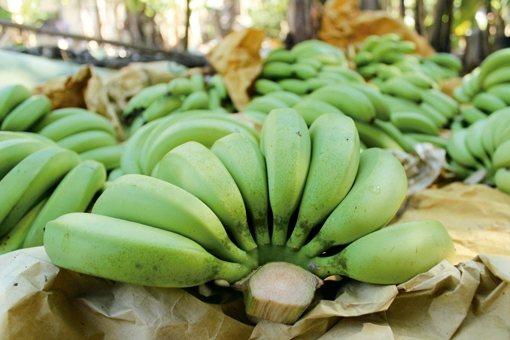 剛採收的香蕉 圖/朱慧芳