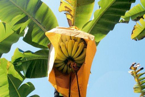 香蕉套袋中 圖/朱慧芳