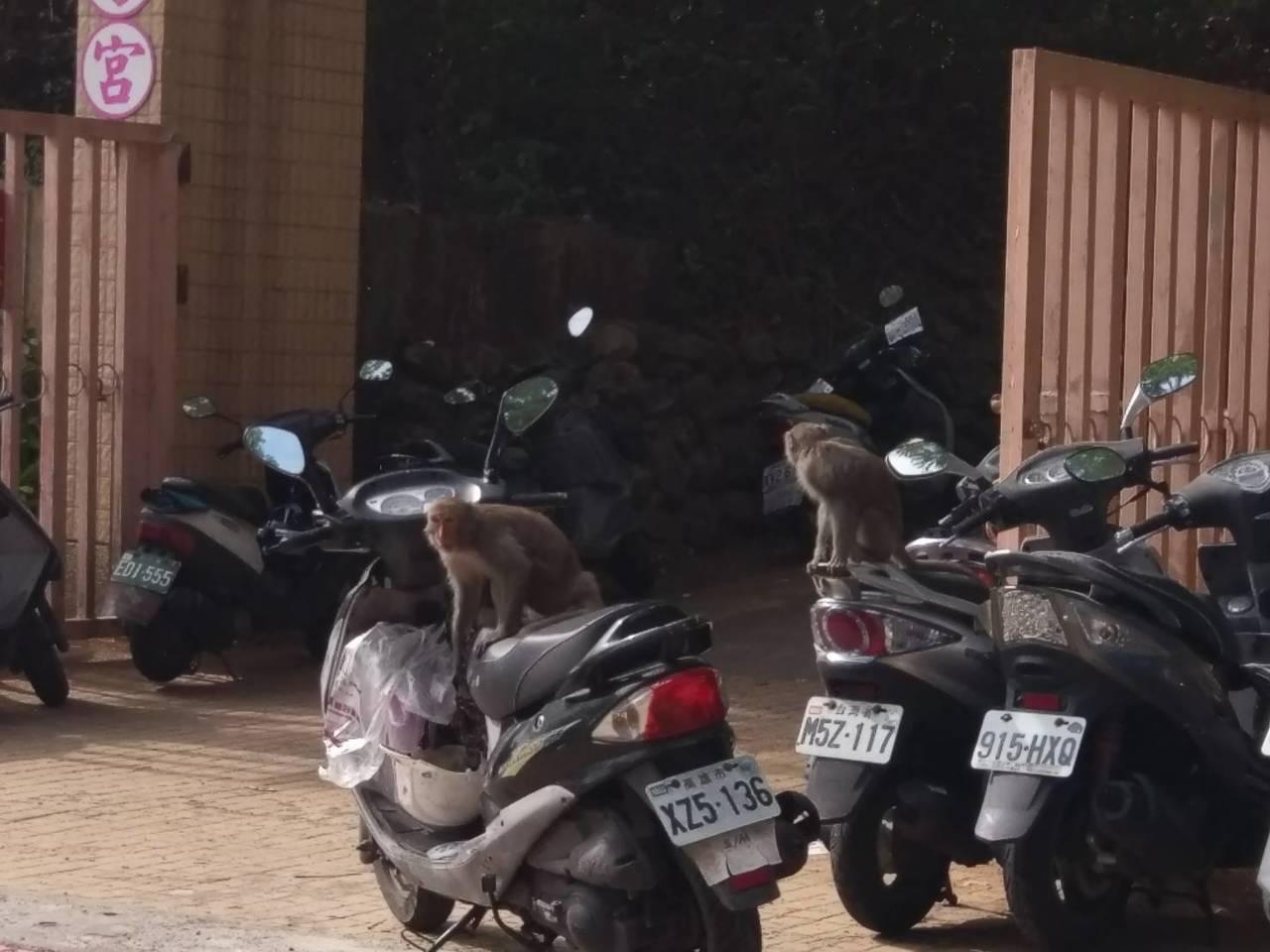 獼猴看到人不害怕,公然在機車區內搶食,只要看到塑膠袋就一擁而上搶走。記者謝梅芬/...