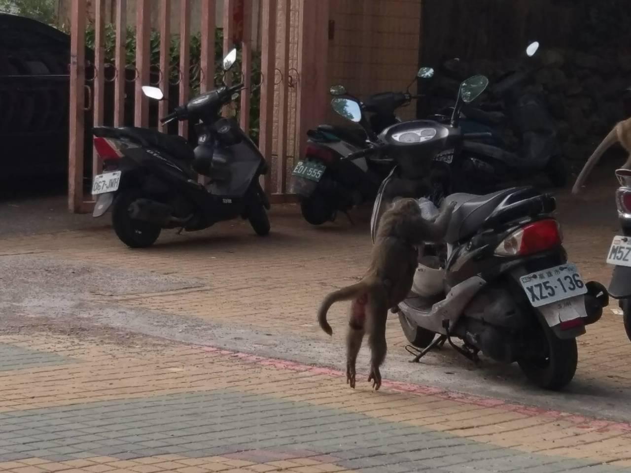獼猴看到人不害怕,公然在機車區內搶食。記者謝梅芬/攝影