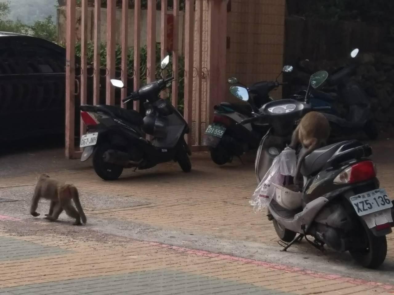 獼猴看到人不害怕,公然在機車區內搶食,只要看到塑膠袋就一擁而上搶走。