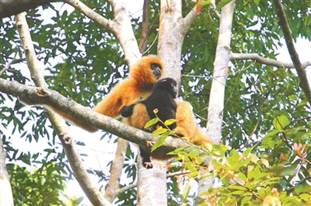 世界最孤獨的長臂猿僅剩27只。取自北京青年報