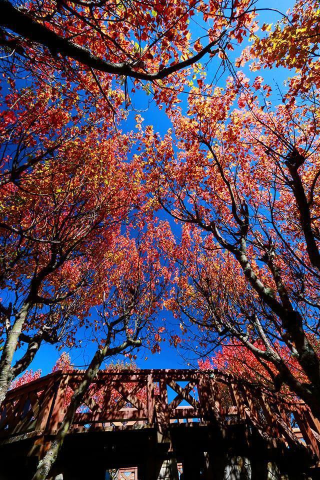 阿里山賞楓季愈冷愈美麗。圖/黃春榮提供