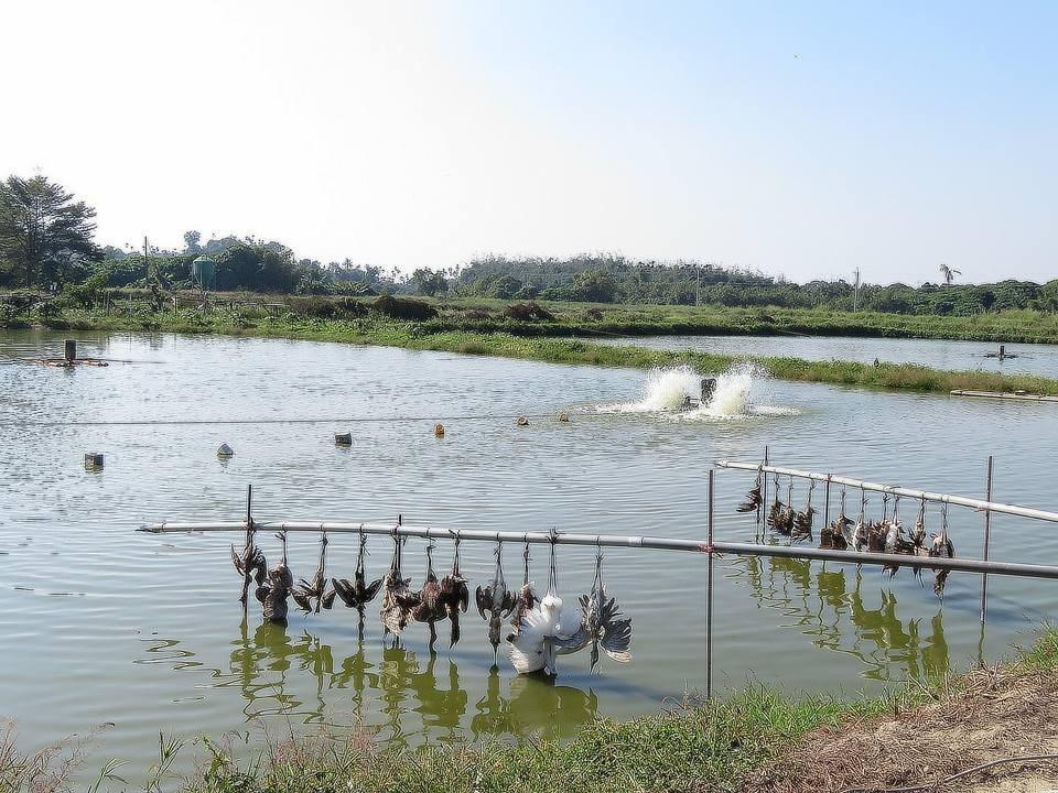 柳營區果毅里1魚塭掛滿鳥屍。圖/攝自臉書