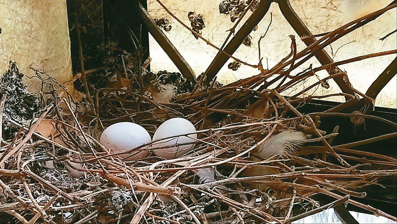 每窩幾乎都是兩顆蛋。 攝影/溫小平
