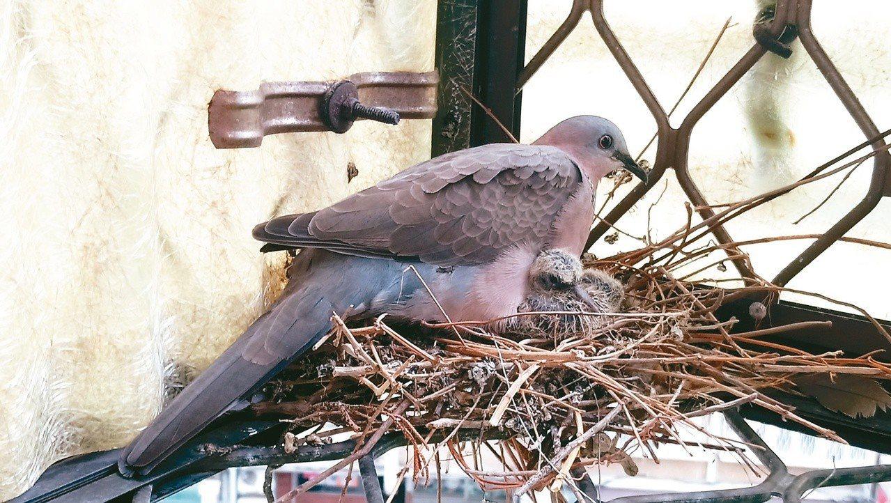 斑鳩母子情深。 攝影/溫小平