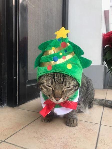 蔡英文總統的愛貓「想想」的耶誕扮相。圖/截自蔡總統的臉書