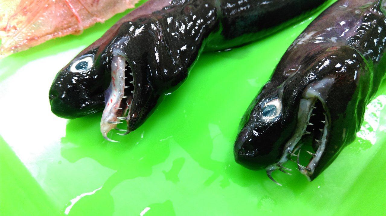 台東新記錄的卡氏尖頷烏鯊。圖/水試所提供
