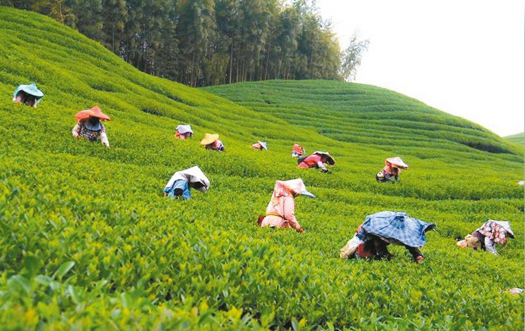 採茶按數量計價, 東南亞的採茶婦都很賣力。 記者張家樂/攝影