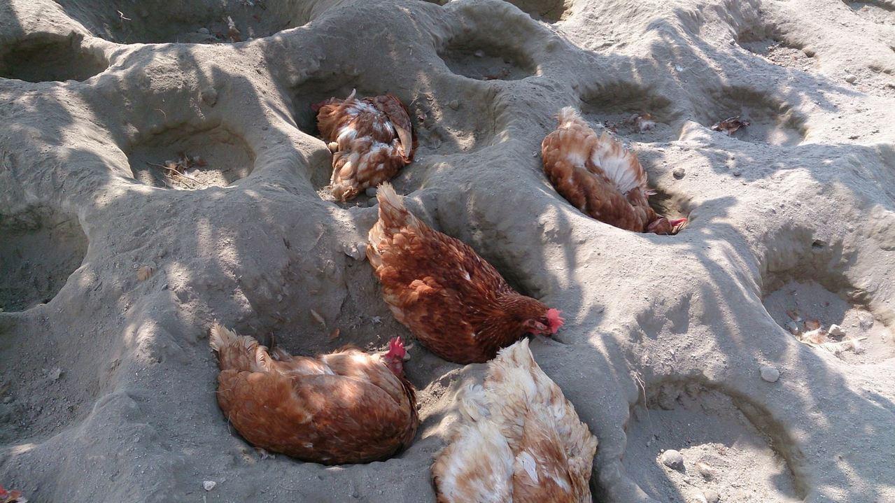 看過雞洗澡嗎?「砂浴」是雞自己的養生保健法喔!(圖片來源:臺灣動物社會研究會)