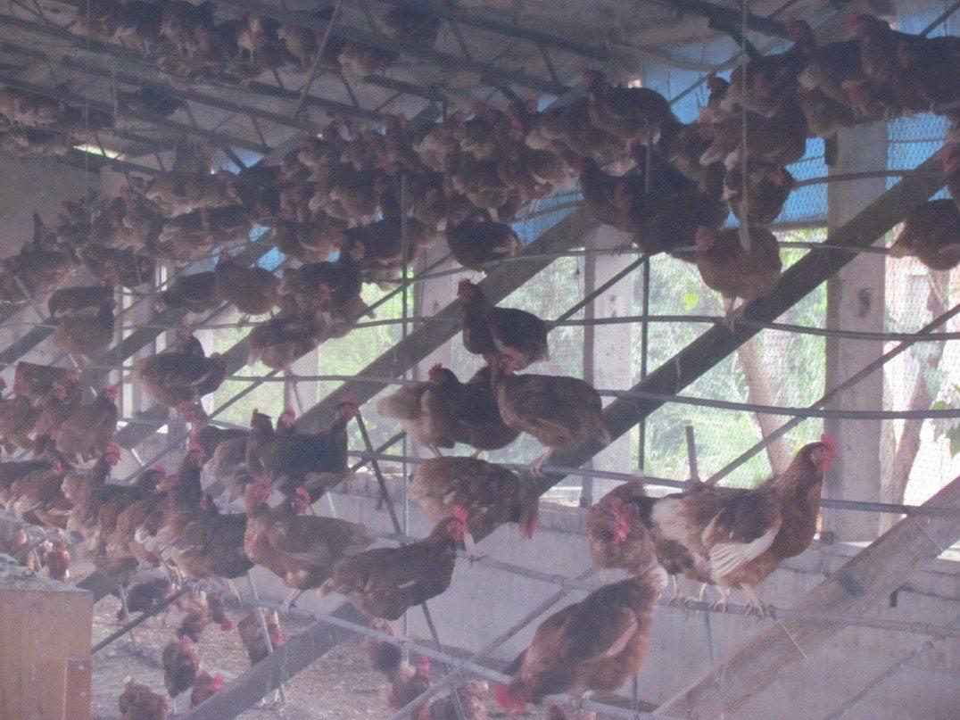 放牧的友善飼養法,提供「棲架」讓蛋雞攀抓相當重要。(圖片來源:臺灣動物社會研究會...