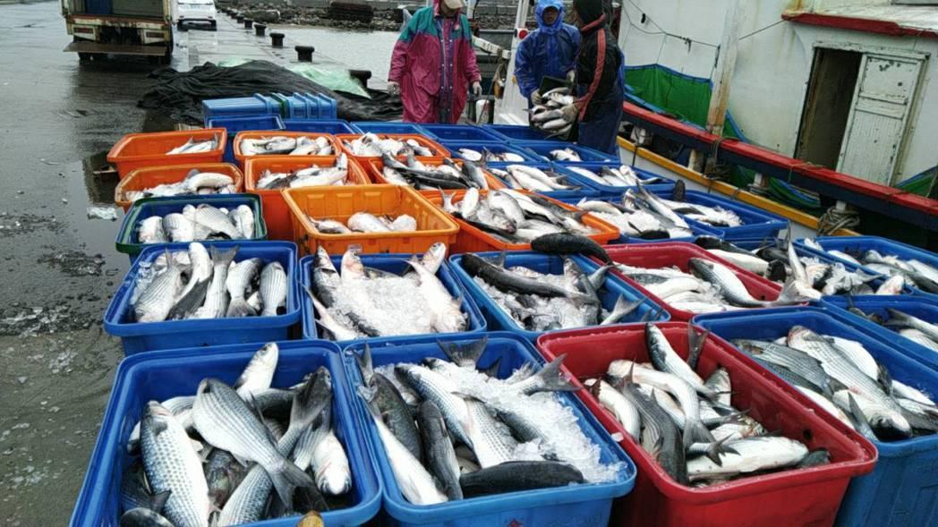 12月初寒流來襲,在北海岸的淡水、金山地區吹來烏魚潮,截至目前為止,已捕獲6萬多...